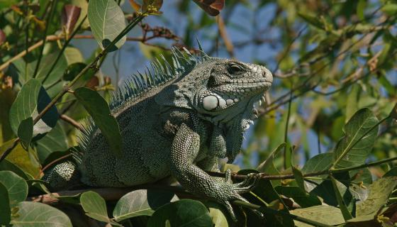Florida Iguanas Are So Done With The Cold, They're Falling From Trees