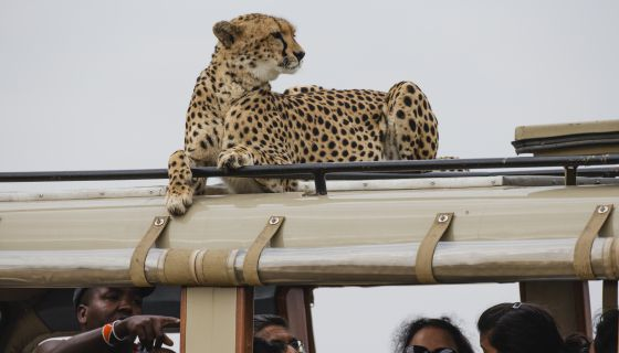 OMG: What Would You Do If A Cheetah Was Just Chillin' In The Back Of Your Vehicle?
